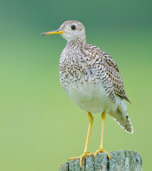 Upland Sandpipers are shorebirds of the prairie. Photo by Johnath, Creative Commons