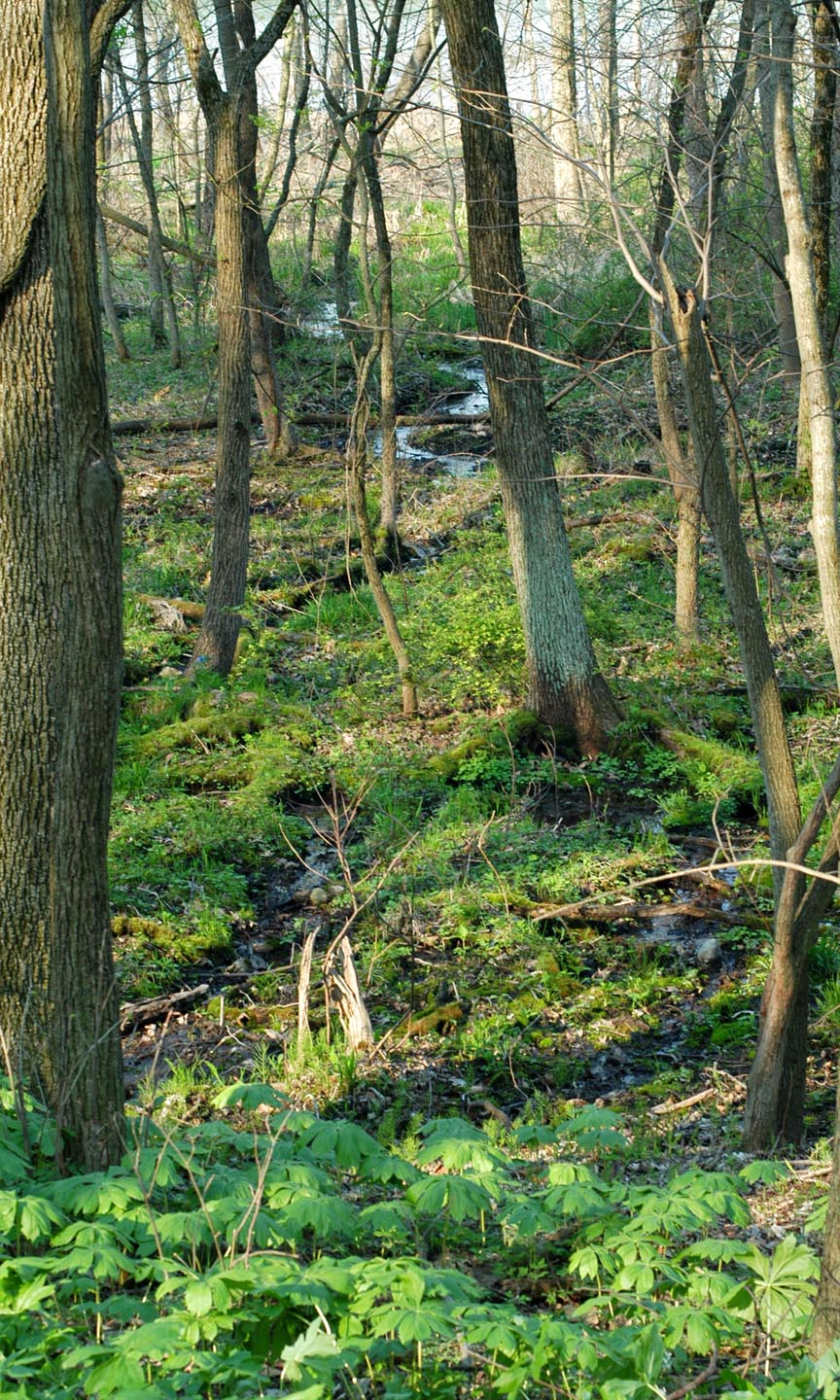 Water meanders through a forested seep habitat at the Dixon Waterfowl Refuge.