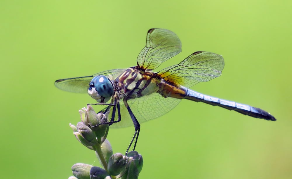 Blue dasher.jpg