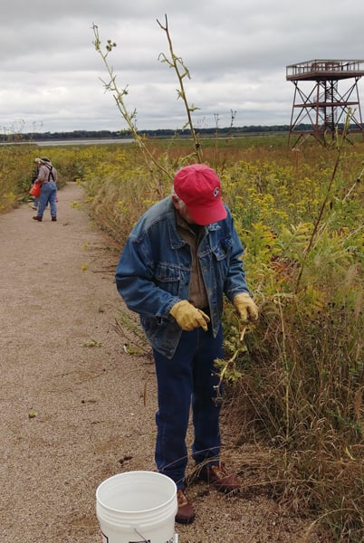 Longtime volunteer Bob Myers works to harvest ripe seed from a compass plant near the observation tower.