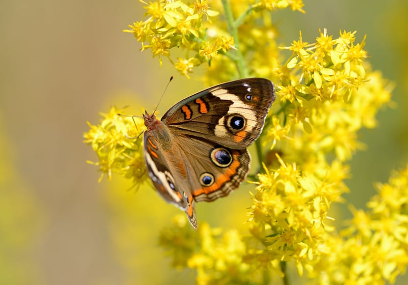 A colorful buckeye butterfly drinks nectar from a goldenrod bloom.
