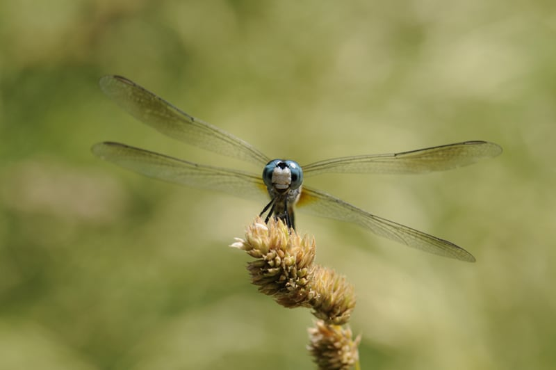 A blue dasher dragonfly was one of 18 odonate species (dragonflies and damselflies) recorded during the BioBlitz. Photo by Cindy McKee.