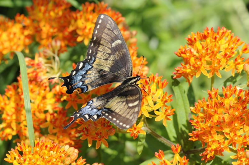 Butterfly experts encountered a rare intermediate color morph of the eastern tiger swallowtail butterfly during the BioBlitz. Photo by Cindy McKee.