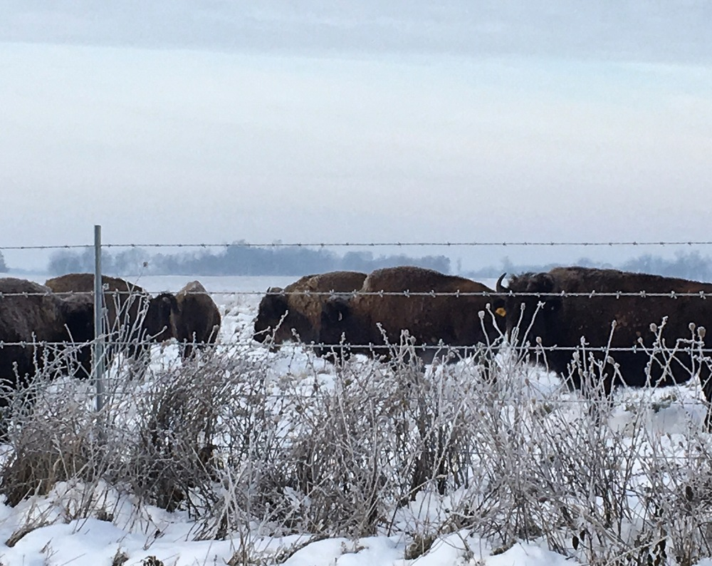 Bison at Midewin on a snowy morning.