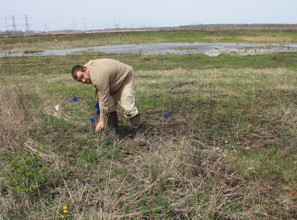 TWI restoration specialist Trevor Edmonson flags a remant population of prairie violets discovered at Midewin.