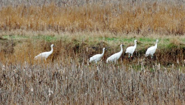 Five juvenile Whooping Cranes stopped over to feed at the Dixon Waterfowl Refuge on April 6. Photo by Scott Anderson/LaSalle News Tribune.