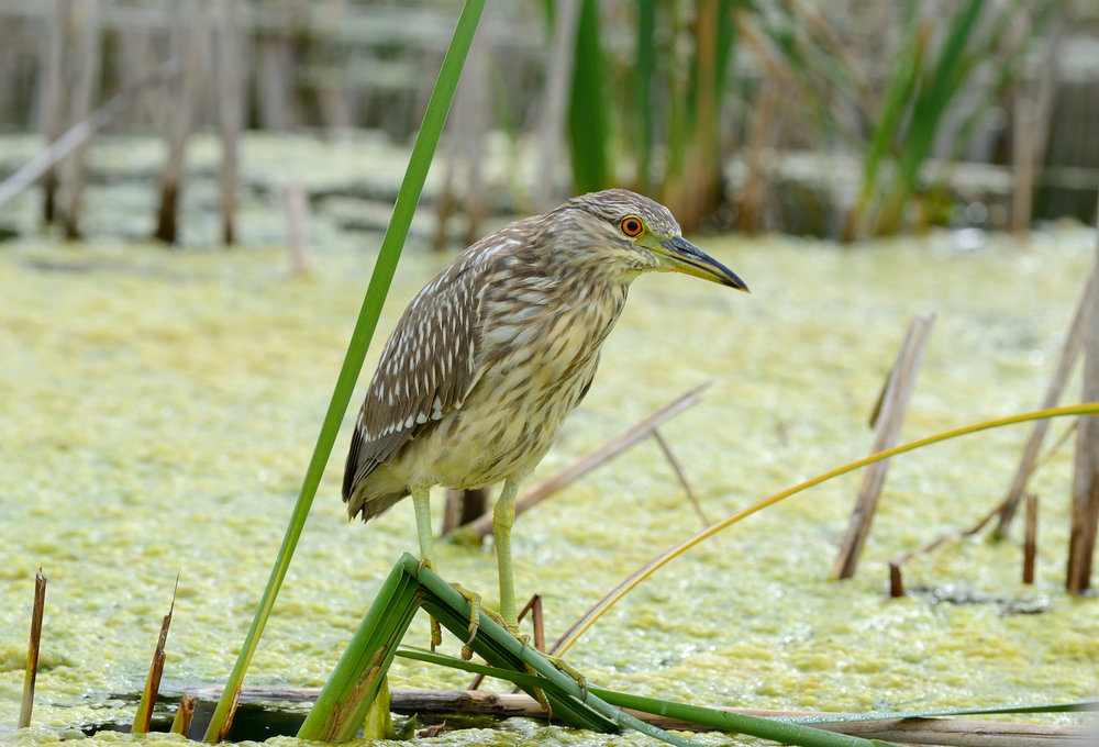 Night-heron.jpg