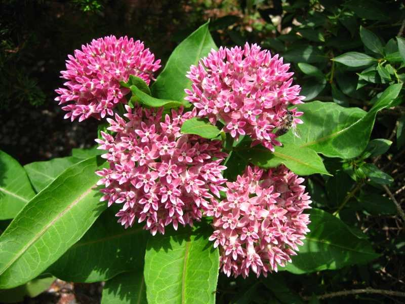 The rare Purple Milkweed is one of nine native milkweed species targeted for planting under TWI's project. It is adapted to dry, sandy savanna and prairie soils. Photo courtesy of the Missouri Botanical Garden.
