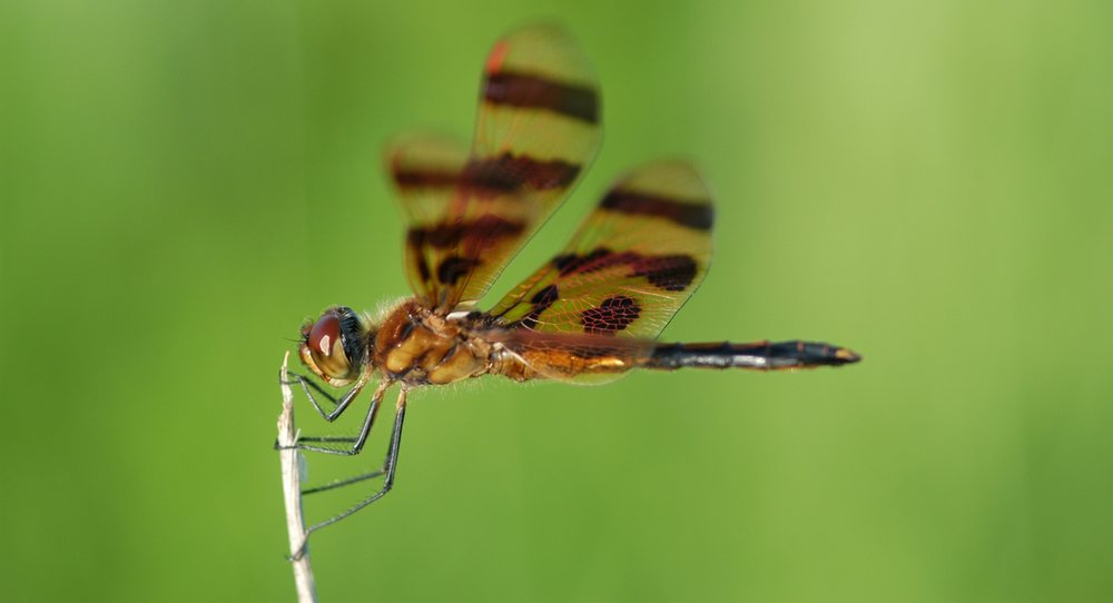 Dragonflies & Damselflies (18) -