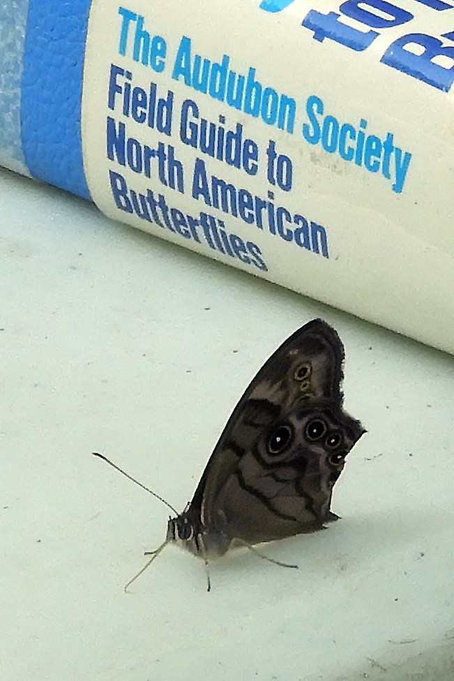 This northern pearly-eye butterfly waited patiently to be identified. Photo by Janice Sweet.