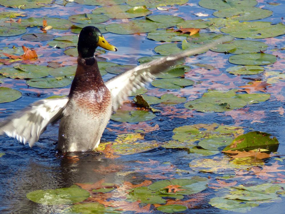 duck.up.jpg
