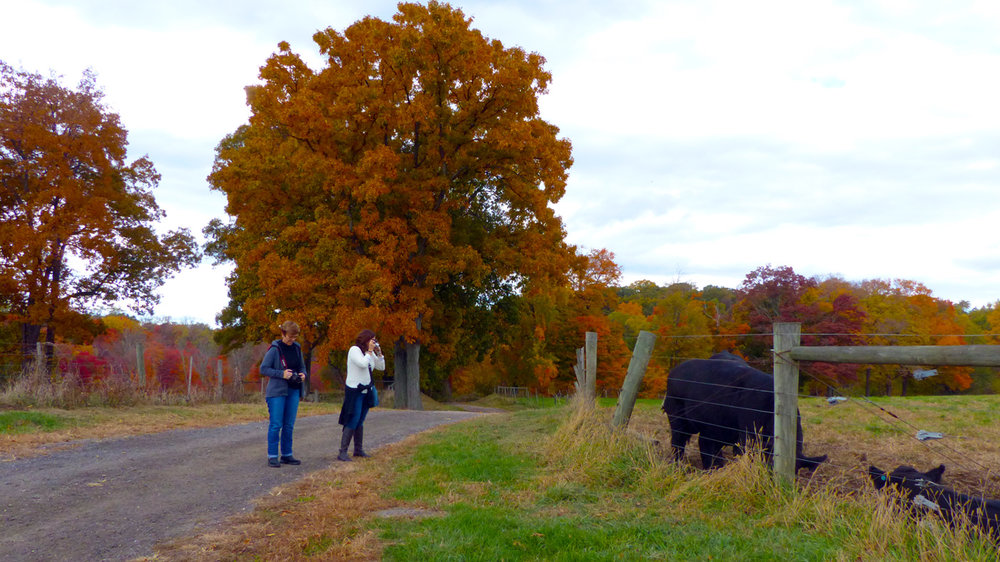 Marta & Illy admiring the cows at Stone Barns