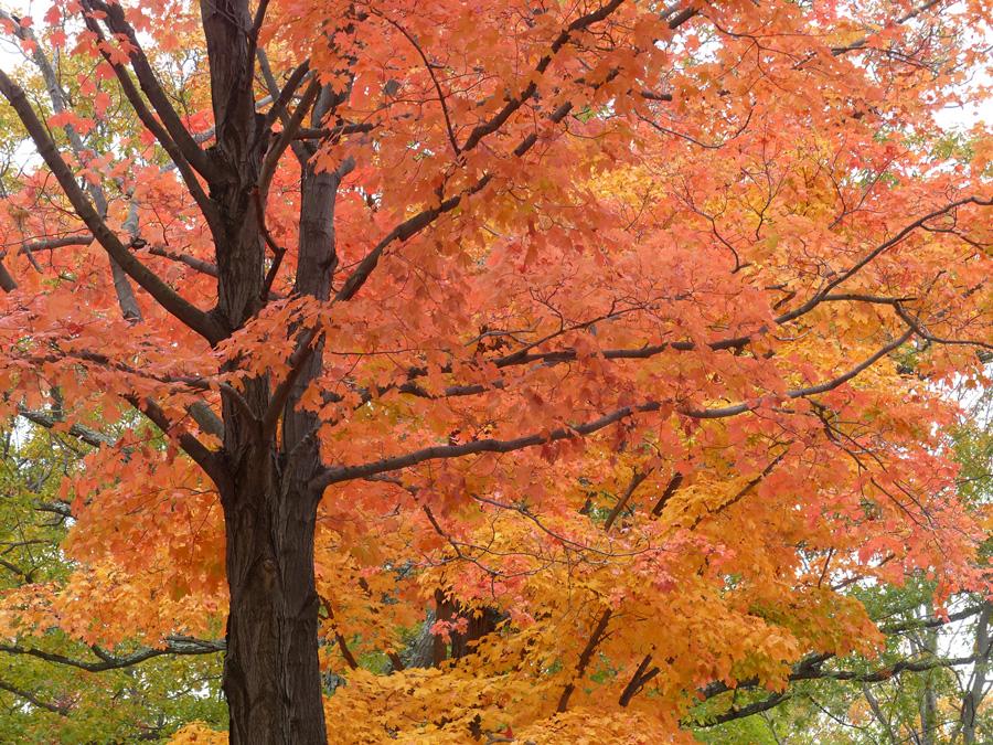 orange.tree2.jpg