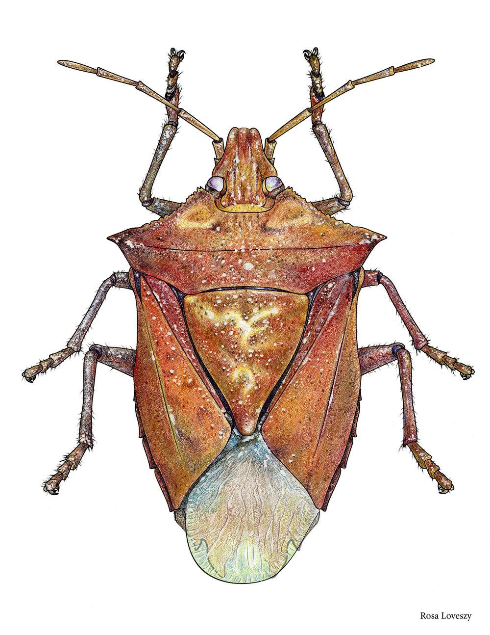 Euschistus variolarius