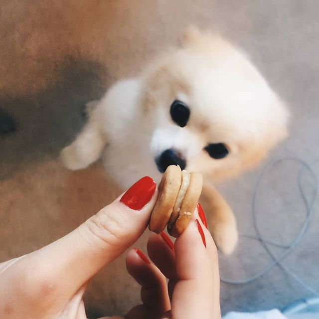 This is not a bribery. It's a puppy Macaron. Ok so maybe it is. But this doggy is crazy for it! #lavandepatisserie #patisserie #organic #puppymacaron #dogtreats #bribemydog