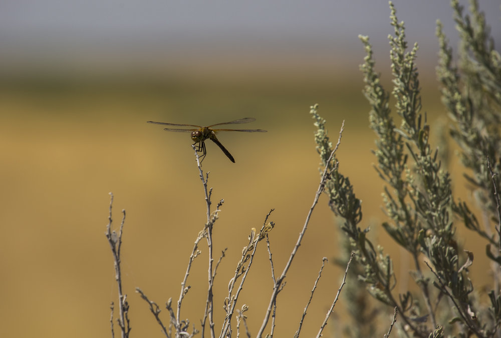 box canyon dragon fly 1.jpg