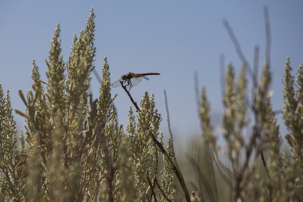 box canyon dragon fly 2.jpg
