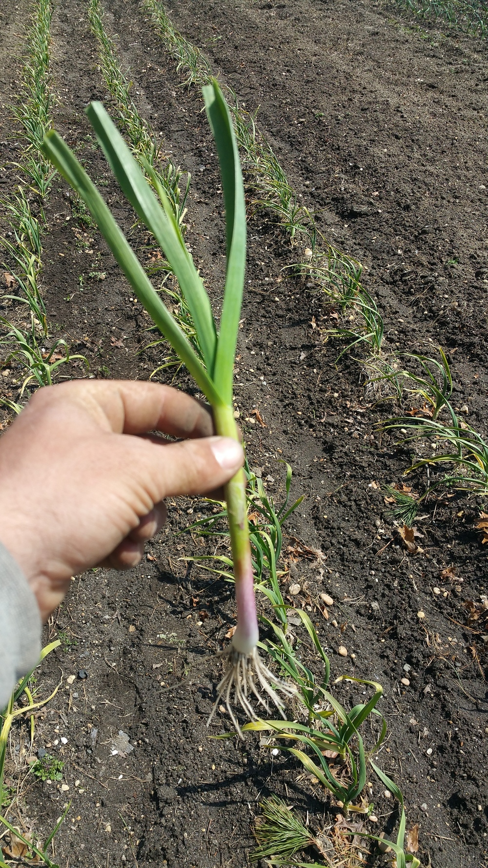Spring garlic in May 2016, an early spring treat, used in culinary like a green onion or scallion.