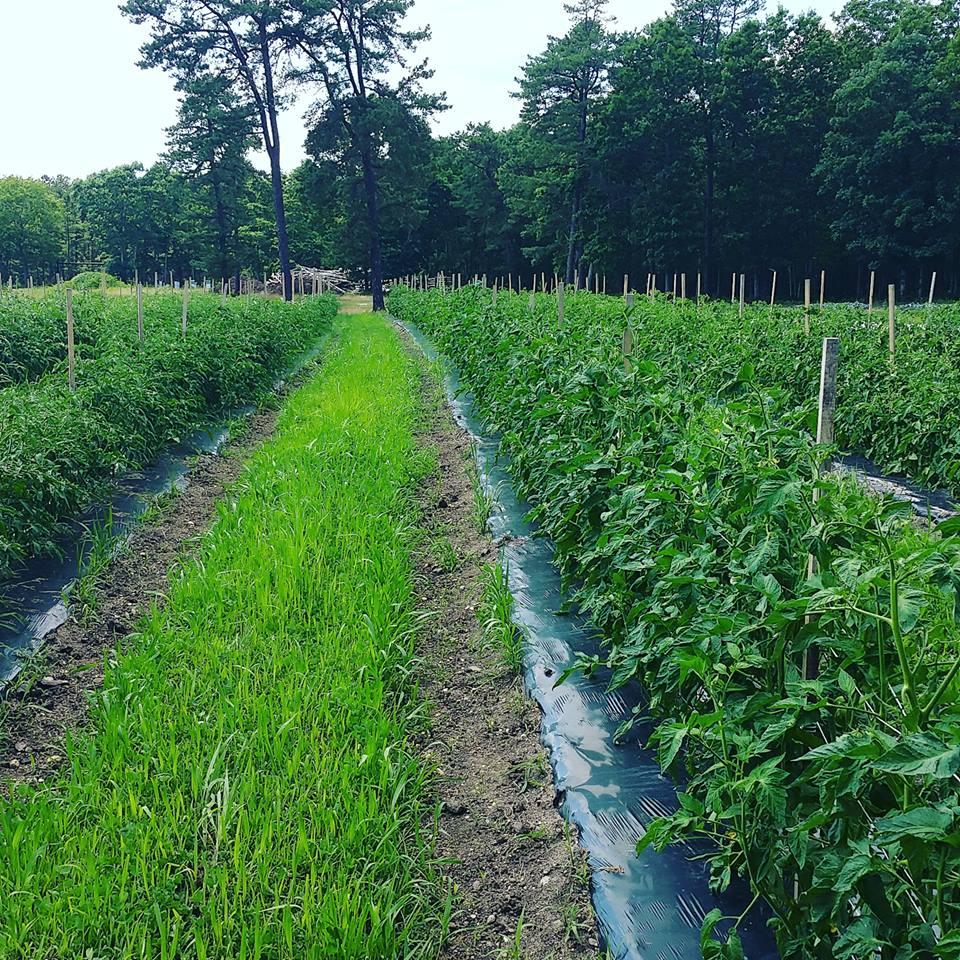 Tomato Field.jpeg