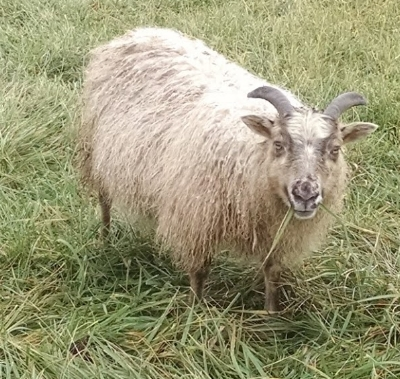 Diana--$400  Dam: Anabelle  Sire: Cory  Born 2016  Look at that coloring! She's beautiful and raised a nice big ram lamb as a one-winter ewe. Her mother has birthed nice big triplets.