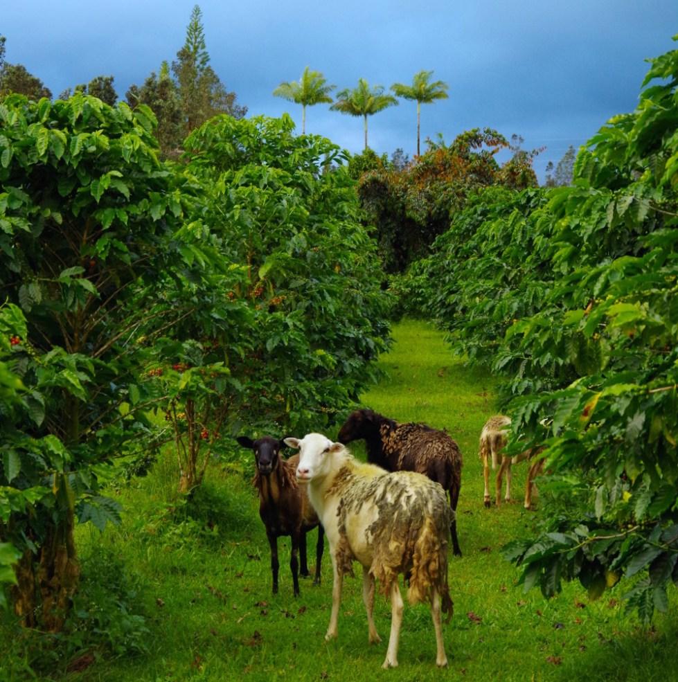 "Big Island, small operation,"" Big Island Coffee Roasters & their"