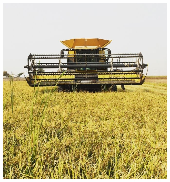 This is one of our harvesters, it takes weeks of steady work to harvest our fields in fall. Timing; water content of the rice; and weather are all factors that are crucial in assuring that we have the best product possible.