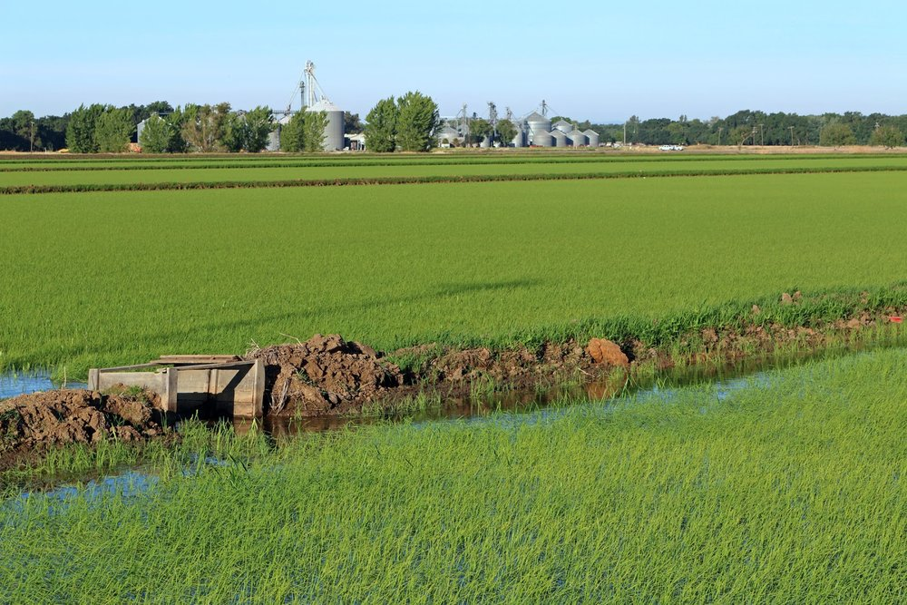 Rice Field Elverta 52915-2 copy.jpg