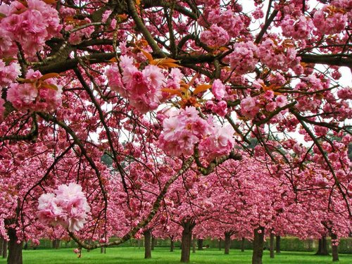 CHERRY BLOSSOM PARIS #Bonus:PARC DE SCEAUX Photo credit:  amateurs de bassins
