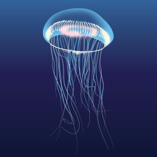 Crystal jellyfish (Aequorea sp.)