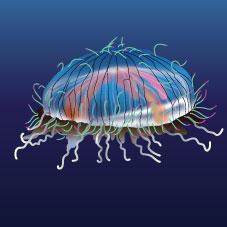 Flower Hat Jellyfish (Olindias formosa)