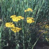 Yarrow (Achillea biebersteinii)