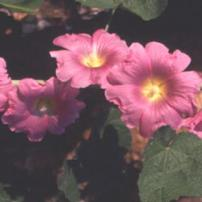 Holly Hock (Alcea setosa)