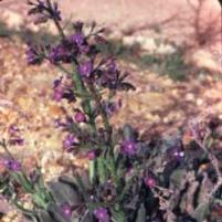Prickly Alkanet (Anchusa strigosa)