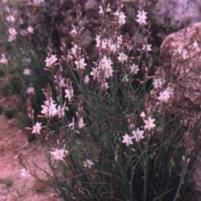 Asphodel (Asphodelus fistulosus)