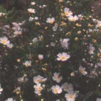 White Rock-Rose (Cistus salviifolius)