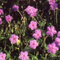 Stroke Bill (Erodium gruinum)
