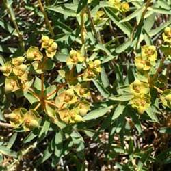 Spurge (Euphorbia macroclada)