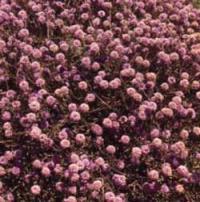 Arabian Globularia (Globularia arabica)