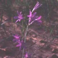 Ixiolirion (Ixiolirion tataricum)