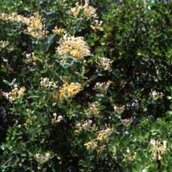 Italian Honeysuckle (Lonicera etrusca)