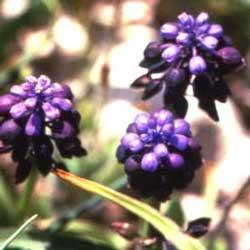 Grape Hyacinth (Muscari commutatum)