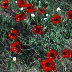 Large Ranunculus ( Ranunculus asiaticus)