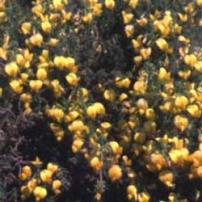 Stricky Restharrow (Ononis natrix)