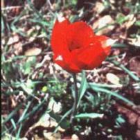 Tulip (Tulipa stylosa)