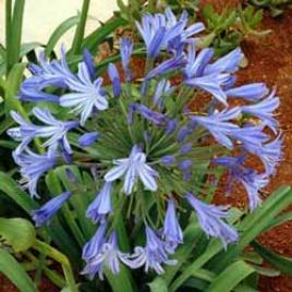 otanical name:    Agapanthus orientalis     English common name:  Lily of the Nile   Arabic common name:   زنبق النيل    Group:  Evergreen perennial   Size (height x width):  0.5m X 0.4m   Flowering season:  June - August   Growth rate:  Fast   Sun exposure:  Full sun, part shade   Water usage:  Little watering (once a week)