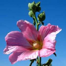 Botanical name:      Alcea rosea       English common name:  Hollyhock   Arabic common name:  ختمية   Group:  Deciduous perennial   Size (height x width):  1.0 – 2.0m X 0.4m   Flowering season:  May - September   Growth rate:  Fast   Sun exposure:  Full sun   Water usage:  Little watering (once a week)