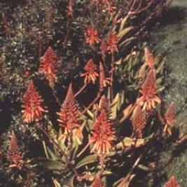 Golden-tooth Aloe (Aloe nobilis)