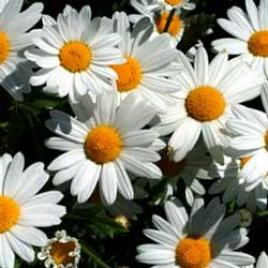 Botanical name:        Arg  yranthemum frutescens         English common name:  Marguerite   Arabic common name:  مرجريت   Group:  Evergreen shrub   Size (height x width):  1.0m X 1.0m   Flowering season:  May - October   Growth rate:  Fast   Sun exposure:  Full sun   Water usage:  Little watering (once a week)