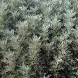 Botanical name:         Artemisia arborescens          English common name:  Faith Raven   Arabic common name:  أرتميزيا   Group:  Evergreen shrub   Size (height x width):  1.0m X 0.5m   Flowering season:  May - June   Growth rate:  Fast   Sun exposure:  Full sun   Water usage:  Low watering (twice a month)