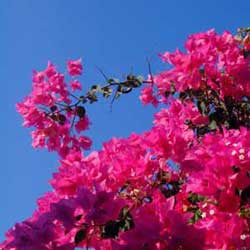Botanical name:         Bougainvillea sp          English common name:  Bougainvillea   Arabic common name:  مجنونة   Group:  Evergreen vine   Size (height x width):  6.0m x 2.0m - 3.0m   Flowering season:  May - October   Growth rate:  Moderate   Sun exposure:  Full sun   Water usage:  Low watering (Once a week)